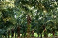 Ölpalmen-Plantagen in Afrika