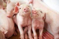 Einladung zum Pressefrühstück: Die Lebensmittelwirtschaft stellt auf der Photokina aus Pigs  Schweine – Eine Fotoausstellung über das Bild der Sau in Kunst, Kultur und Alltag.