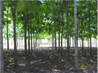 showimage Life Forestry Standort Ecuador: Wo Teakholzanbau Königsdisziplin ist