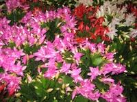 Schlumbergera schenkt zahlreiche Blüten zu Weihnachten