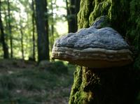 showimage Baumpilz revolutioniert Naturheilkunde und Kosmetik
