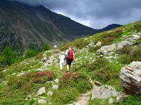 Alpenrosen in Südtirol: Im Juni blühen sie