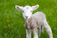 Dolly - das Rasenroboter-Schaf