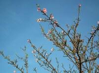 Erste rosa Mandelblüten  an der Deutschen Weinstraße
