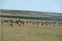 Masai Mara: Die Große Tierwanderung hautnah