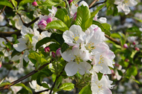 Merans einzigartiger Frühling