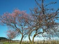 Gimmeldinger Mandelblütenkönigin wird am  9. März gekrönt