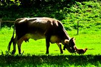 Südtiroler Milch für Südtiroler Käse