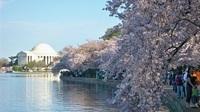 Blütenpracht und Jazz-Klänge: Festival-Fieber in Washington DC