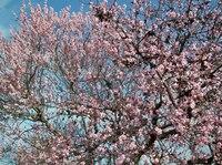 Rosa Pfalz  - Gimmeldinger Mandelblütenfest am 15. und 16.3.