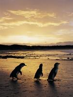 Blick ins Schlafzimmer der Pinguine von Phillip Island