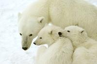 Eisbären in der Hudson Bay sprechen deutsch