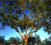 Naturkorken: Gut für Umwelt und Wein