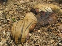 Mehrere zerstückelte Tiger gefunden