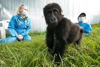 Smarter Einsatz im Dschungel: HTC unterstützt Gorilla Doctors in Ruanda und im Kongo