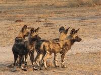 SOS-Notruf soll Afrikanische Wildhunde vor dem sicheren Tod bewahren