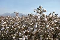 Mehr Wohlgefühl im Winter - mit Baumwolle aus den USA