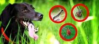 Wie die Raupe des Eichenprozessionsspinners so manchen Hundehalter in Alarmbereitschaft versetzt