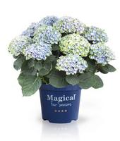 Malerische Farbspiele im Garten: Magical(R)-Hortensie wechselt ihre Farben während der Blütezeit