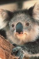 Melbourne & Victoria sucht tierisches Cover-Foto für neuen 360° Australien Kalender 2014