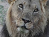 Afrikas Löwen in Not