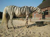 Zebrastreifen schützen Pferde vor Bremsen und Fliegen