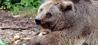 Nach 32 Jahren Gefangenschaft im Bärenzwinger: Tierärzte bescheinigen Schnute nun doch Transportfähigkeit