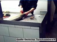 Silvesterkarpfen: Deutsches Tierschutzbüro dokumentiert Tierschutzverstöße im Berliner Fischhandel