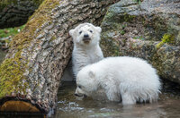 Norbert tauft Norbert - Münchens Eisbär-Baby hat einen Namen