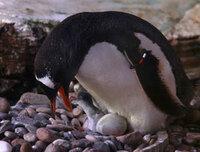 Kunde | LEGOLAND: Pünktlich zum Welt-Pinguin-Tag: Pinguinbabies schlüpfen im LEGOLAND Billund