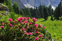 Urlaub Meran zur Alpenrosenblüte