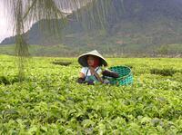 Täglich Tee: Von exotischen Bekannten bis zu unbekannten Exoten