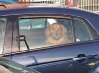 Hunden droht schon im Frühsommer im Auto der Hitzetod