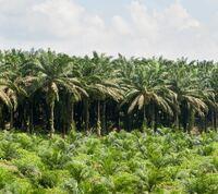 Konsequente Offensive für nachhaltiges Palmöl
