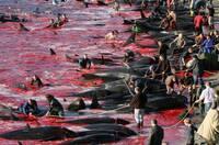 Tierschützer zurück von den Färöer-Inseln - 80 Grindwale gerettet