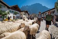 Almabtrieb in Oberbayern: Großer Auftritt der Schafe, Ziegen, Kühe und Pferde