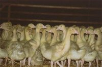 Martinsgans: Deutsches Tierschutzbüro warnt vor Verbrauchertäuschung