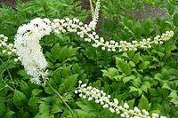 Heilpflanze der Indianer: Gesundheitsportal PhytoDoc über die Traubensilberkerze