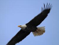 Ein Brutparadies für Weißkopfadler: Im Winter kommen hunderte Tiere nach Alton an den Mississippi