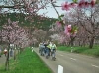 Lust  auf  Frühling -   Mandelblüte  in der Pfalz  erleben