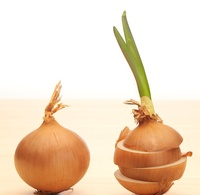 Heilpflanze des Jahres 2015:   Die Küchenzwiebel
