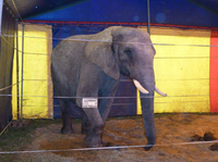 Elefantendame Benjamin tötet Mann in Buchen: PETA kündigt Strafanzeigen wegen fahrlässiger Tötung an