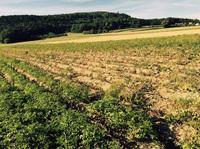 Kartoffelspezialist Burgis: Vorschau auf Kartoffelernte 2015