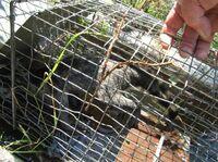 Deutsches Tierschutzbüro: Staatsanwaltschaft Gießen ermittelt im Fall der ertränkten Waschbären