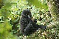 Big Five plus Berggorillas, pure Exotik, mehr Nationalparks und Wildreservate
