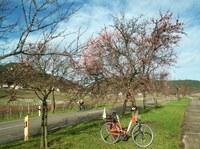 Pfälzer Mandelblüte bereits  im Januar?