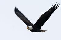 Adler-Saison am nördlichen Mississippi
