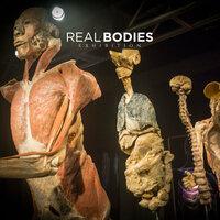 """Endlich eröffnet: Ausstellung """"REAL BODIES"""" bietet faszinierende Einblicke in den menschlichen Körper"""