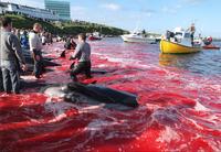 AIDA und HapagLloyd boykottieren weiterhin Walfangland Färöer - TUI Cruises uneinsichtig?