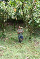 Nachhaltiger Kakao wird marktbeherrschend